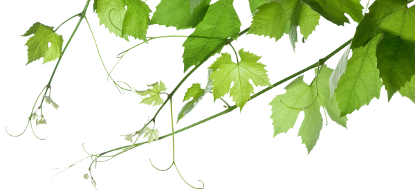 Grapeleaves_transparent_background